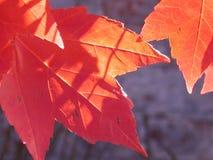 2个秋天叶子影子 免版税库存照片
