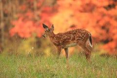 2个秋天小鹿 库存图片
