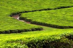 2个种植园茶 免版税库存图片
