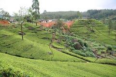 2个种植园茶 库存图片