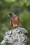 2个美国人migratorius北部知更鸟画眉类 库存图片