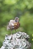 2个美国人migratorius北部知更鸟画眉类 免版税库存照片