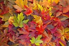2个背景颜色下跌混合的叶子槭树 免版税库存图片