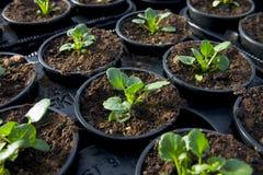2个花苗圃植物年轻人 免版税库存照片