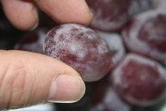 2个葡萄挑选 免版税库存照片