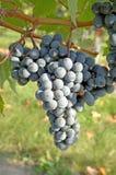 2个葡萄noir白比诺葡萄酿酒厂 图库摄影
