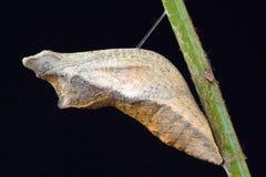 2个蝴蝶蛹swallowtail 免版税库存图片