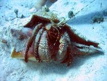 2个螃蟹隐士 库存照片