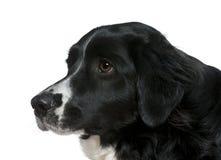 2个视图年的边界接近的大牧羊犬端 免版税库存图片