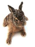 2个野兔 免版税图库摄影