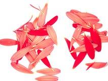 2个雏菊大丁草模式瓣 库存图片