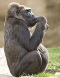 2个非洲西部大猩猩少年低地的男 免版税库存照片