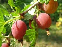 2个鹅莓红色 库存图片