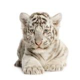 2个崽月老虎白色 免版税库存图片