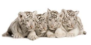 2个崽月老虎白色 图库摄影