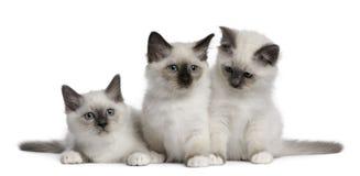 2个birman小猫月 免版税库存照片