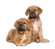 2个bordeaux de dogue月小狗 免版税图库摄影
