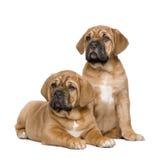 2个bordeaux de dogue月小狗 免版税库存图片