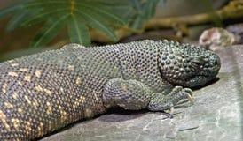 2串珠的蜥蜴墨西哥 免版税图库摄影