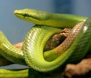 2位被盯梢的竟赛者红色蛇 免版税库存照片