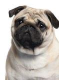 2几年的接近的老哈巴狗 免版税库存照片
