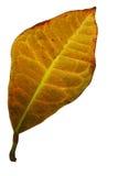 2划分为的叶子黄色 免版税库存图片