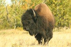 2北美野牛 免版税库存照片