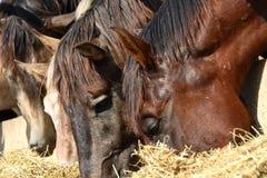 2匹马 库存照片