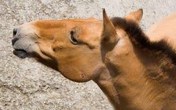 2匹马przewalski s 免版税图库摄影
