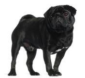 2半老哈巴狗常设年 库存图片