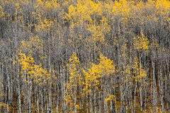 2卷白杨木科罗拉多秋天森林 免版税库存照片