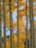 2卷白杨木颜色秋天森林 库存图片