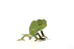 2变色蜥蜴 免版税库存照片
