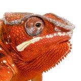 2变色蜥蜴furcifer pardalis sambava年 免版税图库摄影