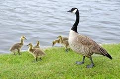 2只加拿大系列鹅河 免版税库存照片
