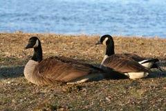 2只加拿大鹅 免版税库存照片