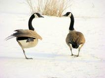 2只加拿大鹅 免版税库存图片