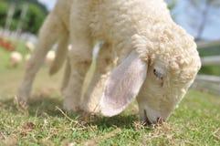 2只域绿色绵羊 免版税库存图片