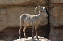 2只大角野绵羊 库存照片