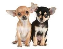 2只奇瓦瓦狗滑稽的月小狗 免版税图库摄影