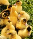 2只小鸡逗人喜爱的鸭子黄色 免版税库存照片
