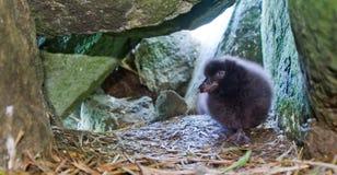 2只小鸡fratercula海鹦 免版税库存图片