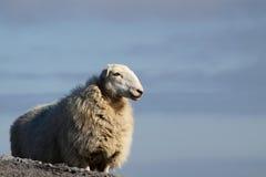 2只山绵羊 库存图片