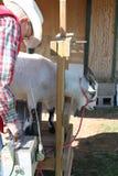 2只山羊采取x的行程光芒 库存图片