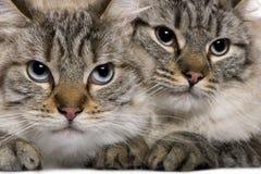 2只巴厘语猫结束老岁月 免版税库存图片