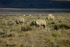 2只开放范围绵羊 免版税库存照片