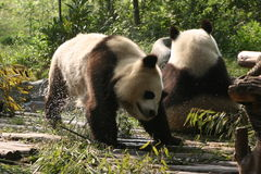 2只成都熊猫 免版税库存图片