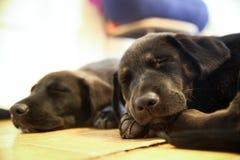 2只拉布拉多猎犬小狗合理地睡觉 库存照片
