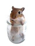 2只沙鼠鼠标 库存照片