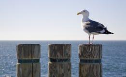 2只海鸥树桩 免版税库存照片